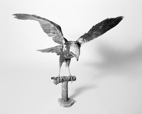 Falco Di Palude – Circus Aeruginosus L.